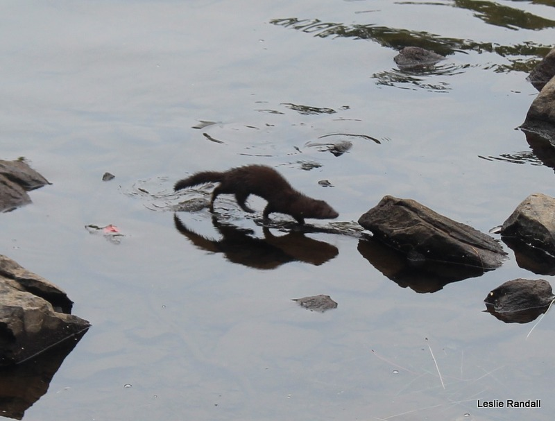 mink on rocks-2