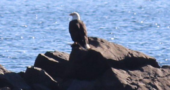 Bald Eagle feeding at Williams Lake