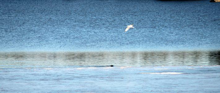 Wildlife Alert: Beaver enjoys polar dip!