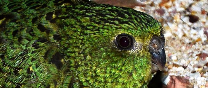 "Once Feared Extinct, ""Night Parrot"" Sighted in Williams Lake Backlands"
