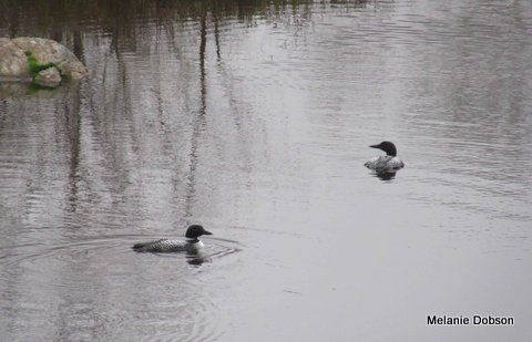 Resident Loons