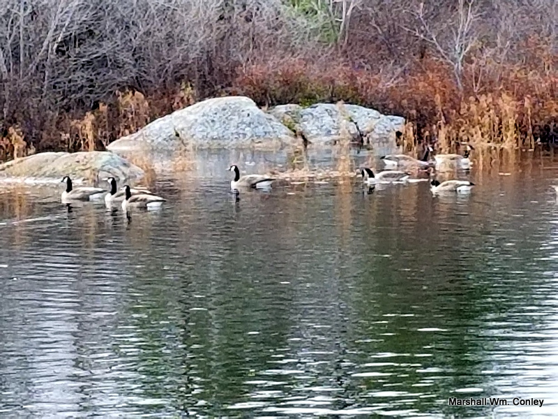 Canada Geese Visit Williams Lake