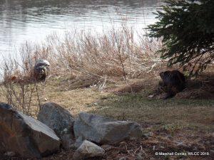 Williams Lake Beavers enjoying a shoreline romp