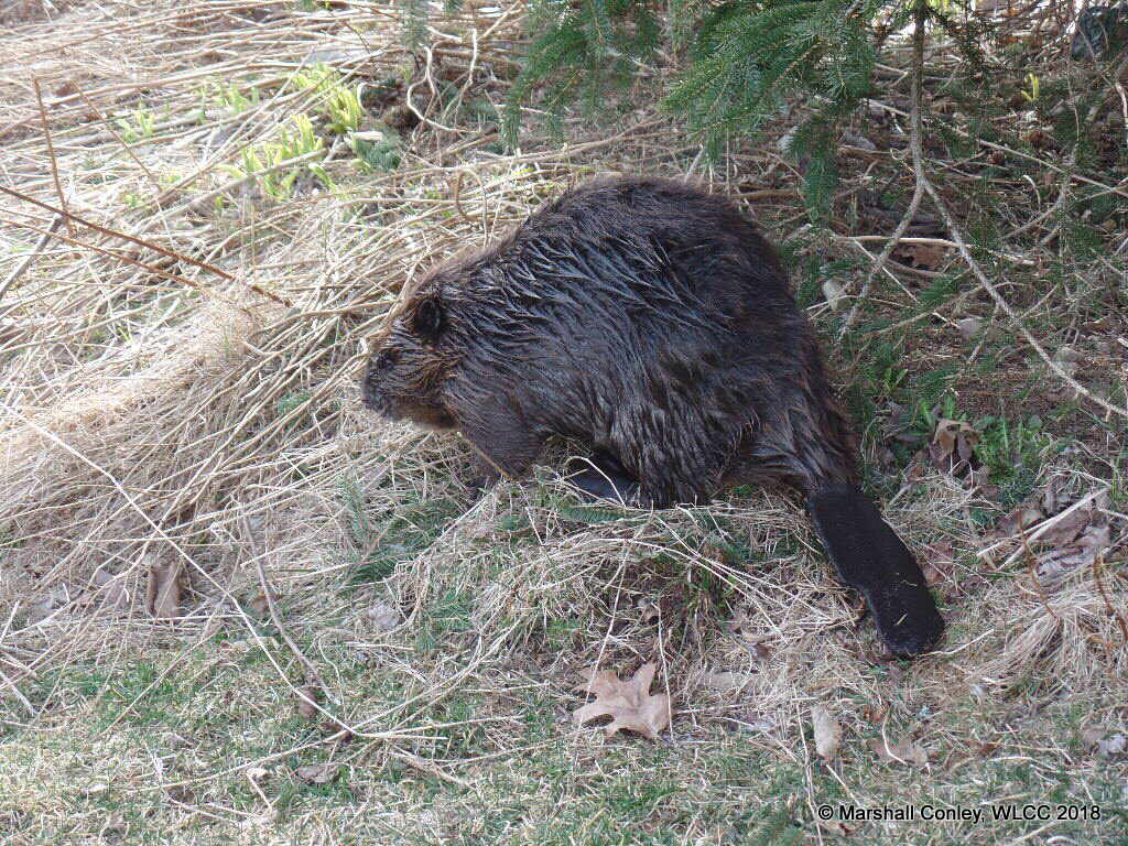 Williams Lake Beavers enjoying protection of new Wilderness Park