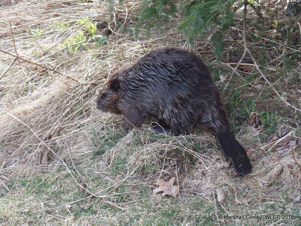 Williams Lake Beavers enjoying protection of new Wilderness Park