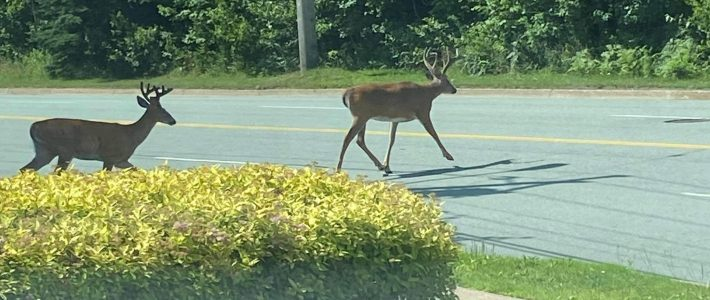 Deer Crossing Old Sambro Rd