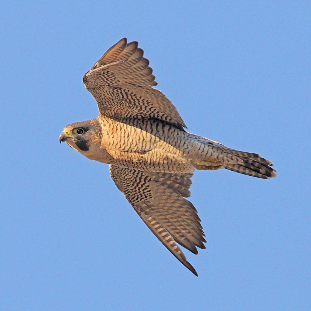 Peregrin Falcon in Flight