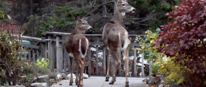 Deer on the Deck