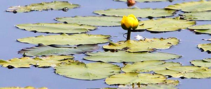 Yellow Heart Lake Weed